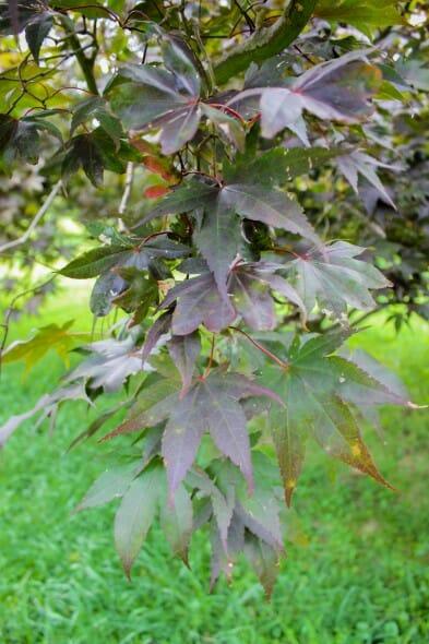 20140821-Bloodgood Japanese Maple