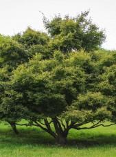 20140821-Green Threadlead Japanese Maple (1)