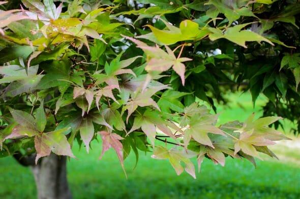 20140821-Oshio-beni Japanese Maple (1)