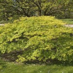 Green Threadlead Japanese Maple Tree_Internet