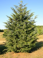 Juniper_virginana3b