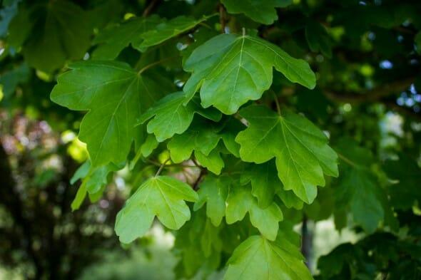 Acer campestre foliage