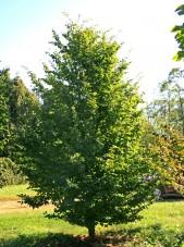 Persian Parrotia