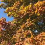 Acer Palmatum - Oshio Beni - Fall Image