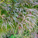 20140821-Ever red Threadlead Japanese Maple (1)
