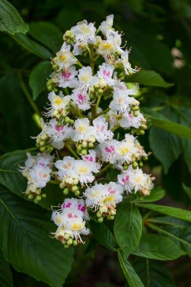 baumanni flower
