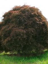 ever red threadleaf jap maple