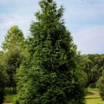 20140819-Green Giant Arborvitae (1)