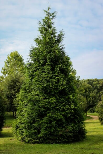 Green giant arborvitae halka nurseries for Green giant arborvitae
