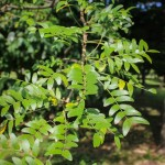 20140819-Single-stem Halka Honeylocust (4)