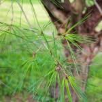 20140819-Tanyosho Pine (2)