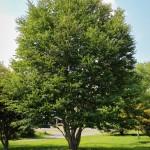 20140820-Katsura Tree (1)