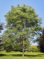 20140820-Kentucky Coffee Tree (1)