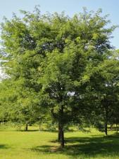 Pagodatree/Scholartree