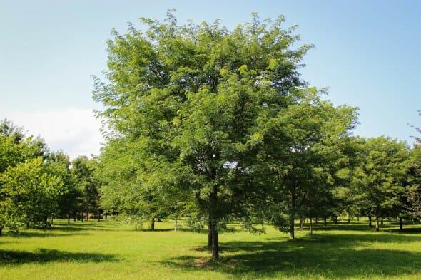 20140820-Millstone Japanese Pagoda Tree (2)