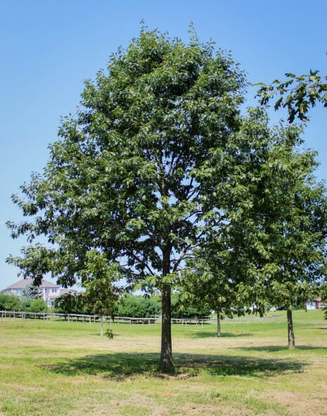Northern Red Oak ~ Northern red oak halka nurseries