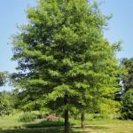20140820-Pin Oak (1)