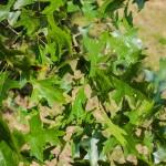 20140820-Pin Oak (2)