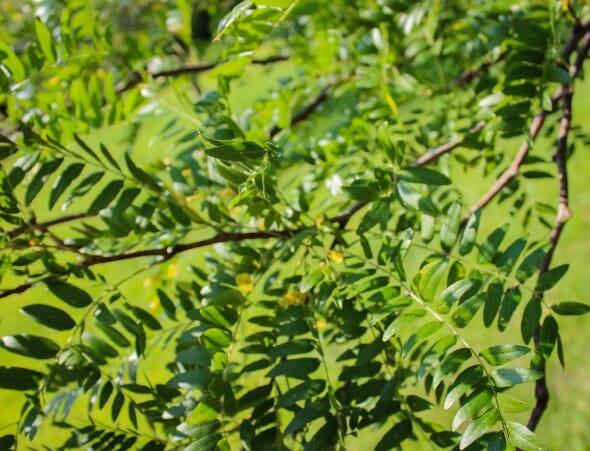 20140820-Single-stem Skyline Honeylocust (3)