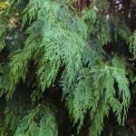20140820-Weeping Alaskan Cedar