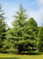 20140821-Deodor Cedar (1)