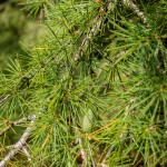20140821-Deodor Cedar (2)