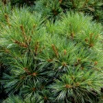 20140821-Dwarf Eastern White Pine