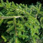 20140821-Oriental Spruce