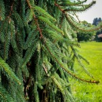 20140821-Weeping Norway Spruce