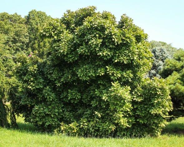 20140826-Dark Saucer Magnolia (1)
