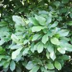 20140826-Dark Saucer Magnolia (2)