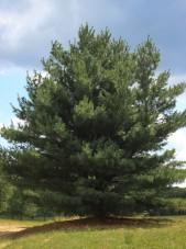 20140826-Eastern White Pine (1)
