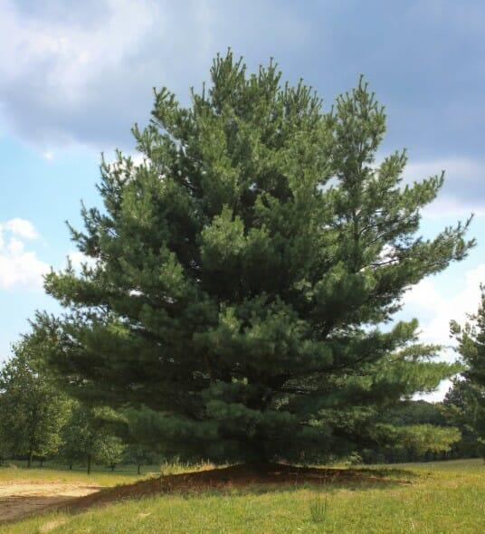 Eastern white pine halka nurseries