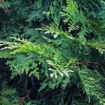 20140826-Elegant Arborvitae (1)