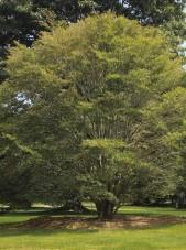 20140826-Fern Leaf Beech (1)