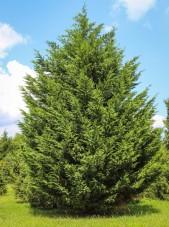 20140826-Leyland Cypress (1)