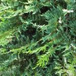 20140826-Leyland Cypress (2)