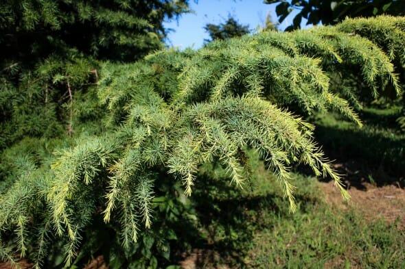 20140827-Golden Deodar Cedar (2)