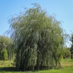 20140827-Golden Weeping Willow (1)