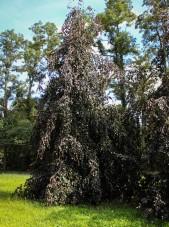 20140829-Weeping Purple Fountain Beech (1)