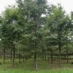Accolade Elm (1)