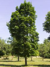 Acer platanoides 'Columnar' - Columnar Norway Maple_Spring View