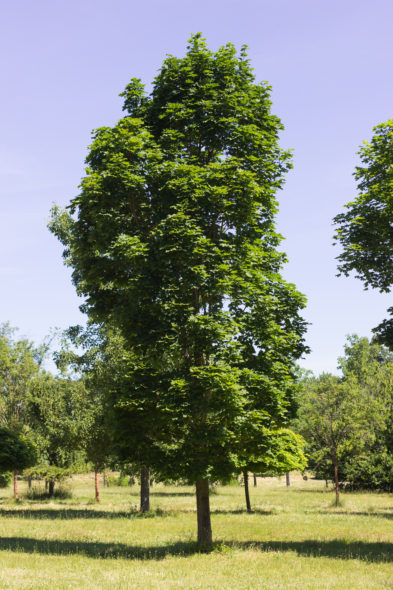 Acer platanoides 'Columnar' - Columnar Norway Maple_Spring View
