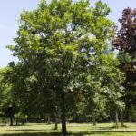 Acer pseudoplatanus - Swamp White Oak_Spring View