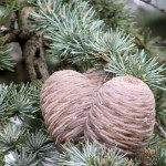 Blue Atlas Cedar cone_internet
