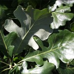 Bur Oak Foliage_Internet