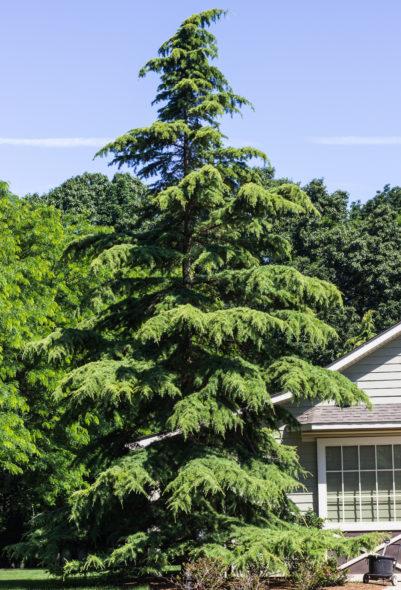 Deodar Cedar Tree Varieties ~ Golden deodar cedar halka nurseries