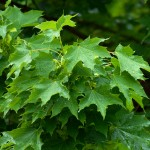 Columnar Norway Maple Foliage_Internet