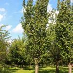 Columnar Sargent Cherry (1)