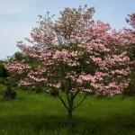 Cornus florida pink